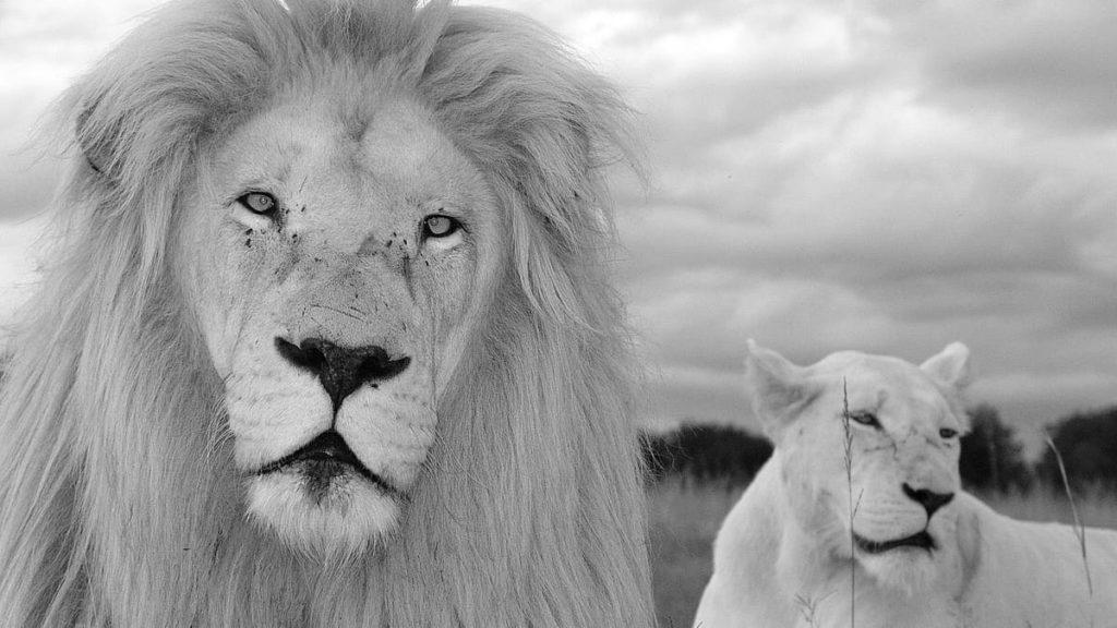 ライオンのカップル